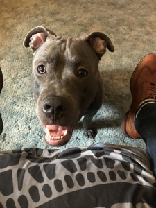 Blue Nose Pitbull Listing Image