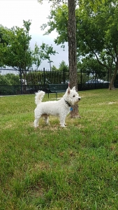 West Highland White Terrier Listing Image Thumbnail