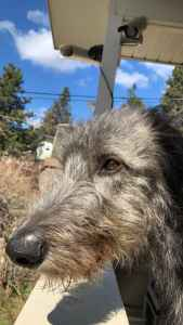 Irish Wolfhound Stud Listing Image