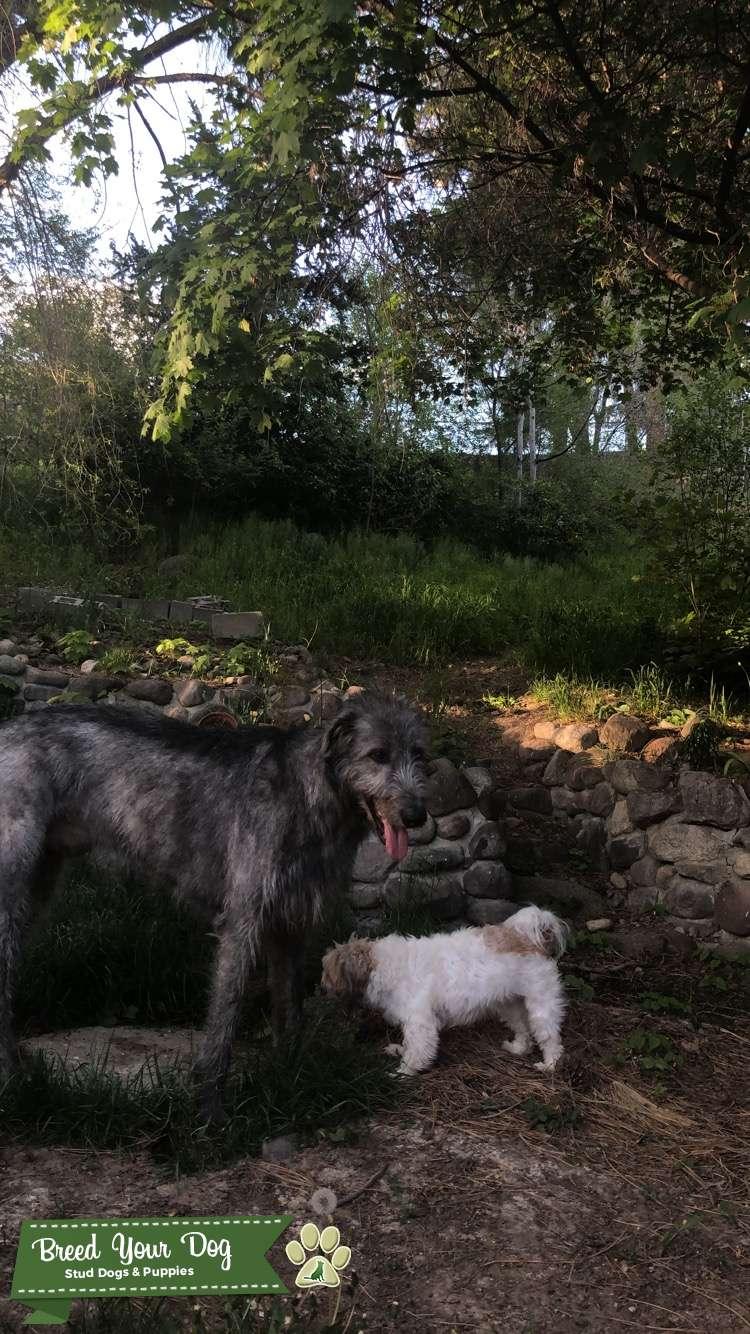 Irish Wolfhound Stud Listing Image Big