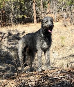 Irish Wolfhound Stud Listing Image Thumbnail