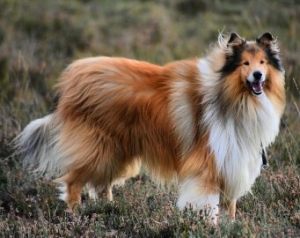 KC Registered Pedigree Sable and White Rough Collie  FOR STUD Listing Image
