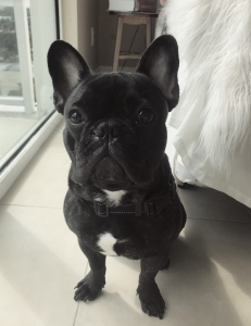 Adorable French Bulldog Stud Service  Listing Image