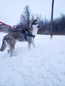 Blue eyed 13 months old pure bred husky looking for a female. Highly energetic, well tempered,longer than tall dogs, friendly,active, alert and outgoing Listing Image