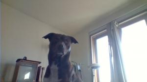 Medium sized lab pit mix. Inside, Outside, all around great dog Listing Image