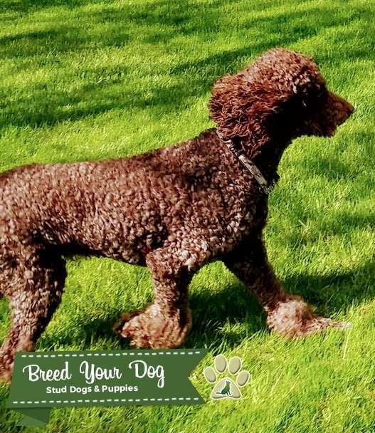 Stud Poodle - Chocolate Listing Image Big