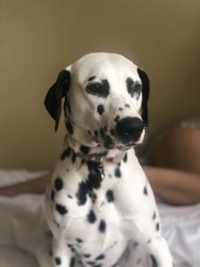 Female Dalmatian Listing Image