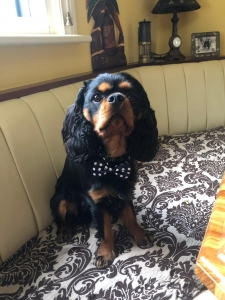 Cavalier King Charles Listing Image