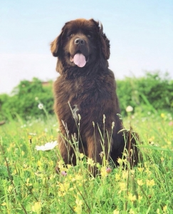 Chocolate Brown Newfoundland Stud Listing Image