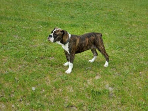 Olde English Bulldog Listing Image