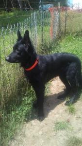 All black german shepherd stud Listing Image