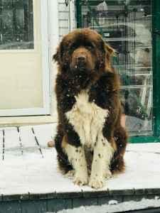 Newfoundland Stud Dog Listing Image