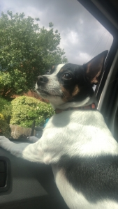Male Jack Russel looking for mate Listing Image