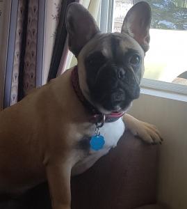 Stud/,French Bulldog Listing Image