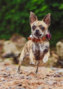 Chihuahua female seeks first stud Listing Image