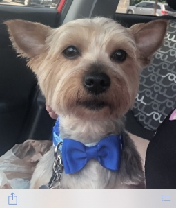 Handsome 2 year Yorkie Listing Image