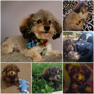 Poodle (Toy) Stud Dogs Available Now - Breed Your Dog