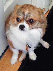 Long Hair Chihuahua Listing Image