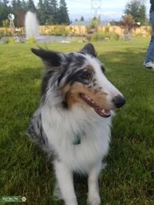 Merle Shetland Sheepdog. Listing Image