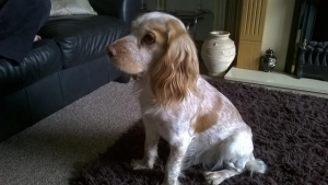 Kc working cocker spaniel for stud Listing Image