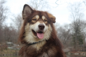Alaskan Malamute Male Looking for a Girlfriend Listing Image