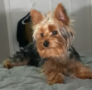 Yorkshire Terrier Stud Dogs Available Now - Breed Your Dog