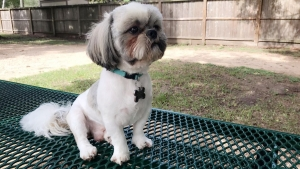 White with grey/brown Shih Tzu Listing Image