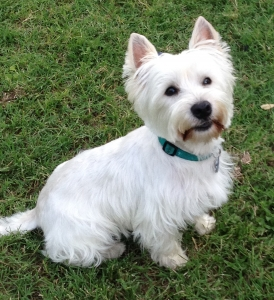 West Highland White Terrier Stud Dogs Available Now - Breed