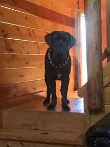 AKC registered Neapolitan mastiff  Listing Image