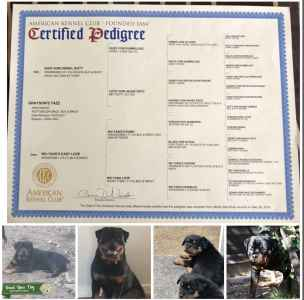 Rottweiler Stud Proven Sire Listing Image
