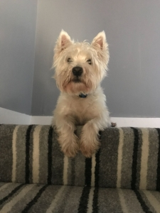 A 4 year old West Highland White terrier, very energetic looking for a girlfriend lol. Listing Image