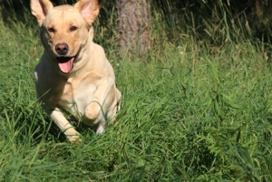 AKC registered, pure bred, yellow lab Listing Image