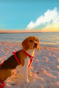 Male Pure Bred Beagle  Featured Image