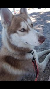Husky stud Listing Image