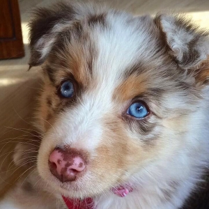 Australian Shepherd Stud Dogs Available Now - Breed Your Dog