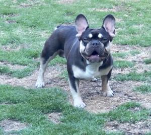 Chocolate & Tan Quad French Bulldog Stud  Listing Image