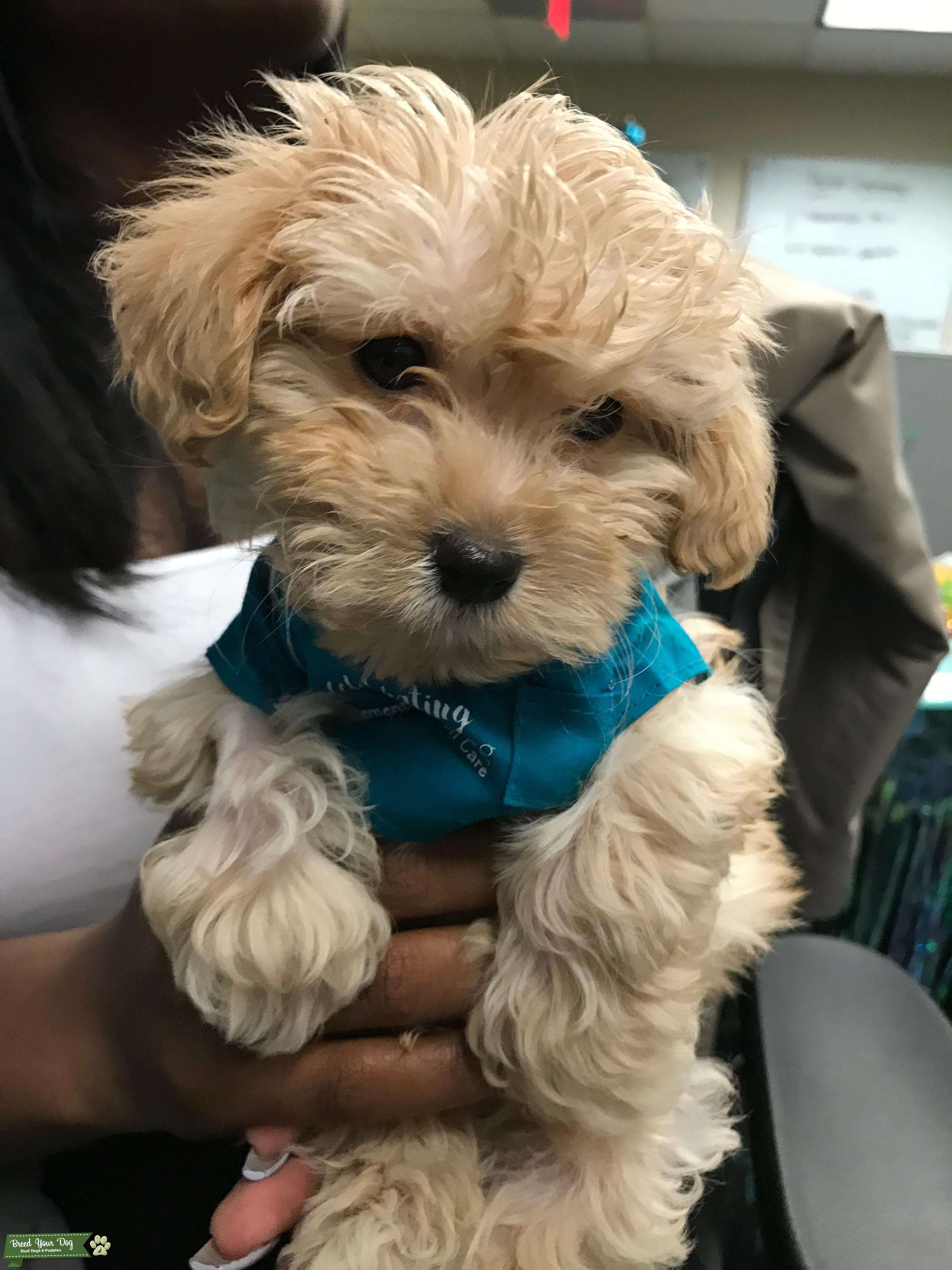 Stud Dog Apricot Maltipoo Male Looking To Stud Breed Your Dog