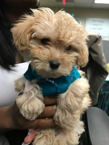 Apricot Maltipoo Male looking to stud Listing Image