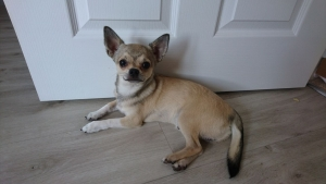 Smooth Coat Fawn Chihuahua Available For Stud Listing Image