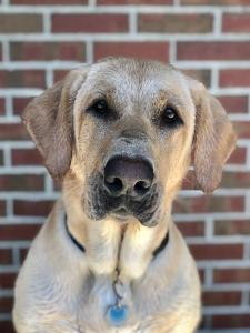 AKC registered American Labrador Retriever  Listing Image