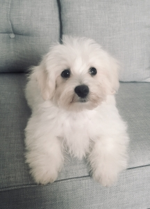 Maltese Stud Dogs Available Now - Breed Your Dog