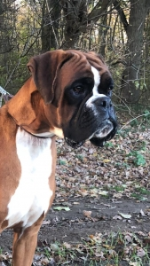 Red &White Czech Boxer Import for Stud Listing Image