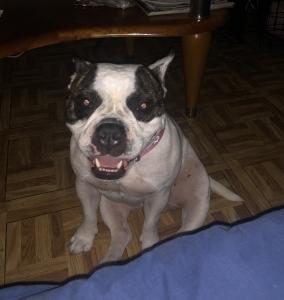 Bulldog mixed Listing Image