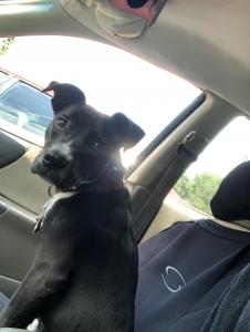 Staffordshire terrier/ blue heeler  Listing Image