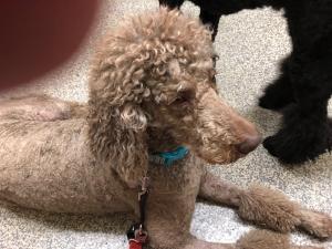Standard Poodle Stud Available  Listing Image