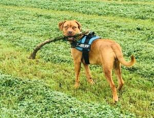 Female Dogue de Bordeaux needs stud Listing Image