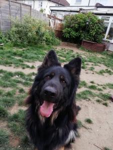 Black & Tan German Shepherd Listing Image