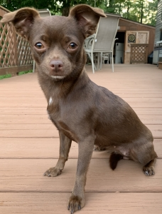 Rich brown Smooth hair Chihuahua (Female) Listing Image