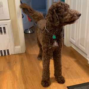 Chocolate Labradoodle Listing Image