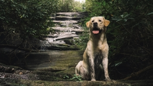 Beautiful Yellow Lab  Featured Image